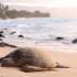 Green Lion & IVHQ Turtle Tourism Project in Fiji Shut Down by Police